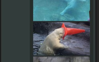 Polar Bear With Cone on his Head | Crazy bears, they can play all day.