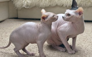 "Hairless cats | The first time you see a member of this hairless, wrinkled breed, your eyes may widen in surprise. Is that really a cat? While some might look askance at hairless cats, Sphynx fanciers loudly proclaim ""bald is beautiful!"""